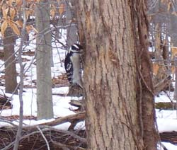 A male downy woodpecker foraging along the Sylvan Trail at North Chagrin Reservation