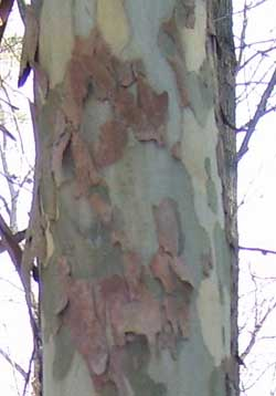 The verigated, flaking bark of a Sycamore Tree.